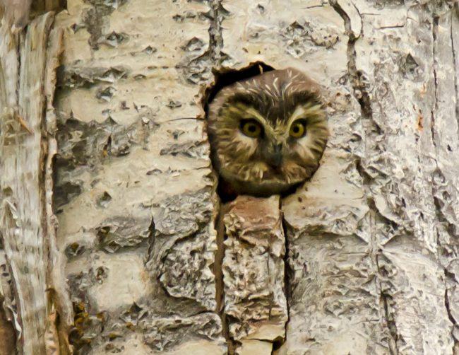 Saw-Whet Owl 4