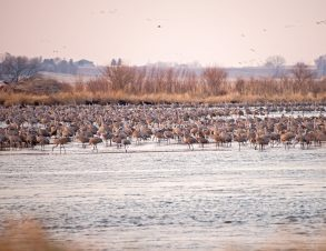 Sandhill Cranes Roosting in the Platte River