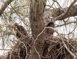 Red-Tail Hawk Chicks