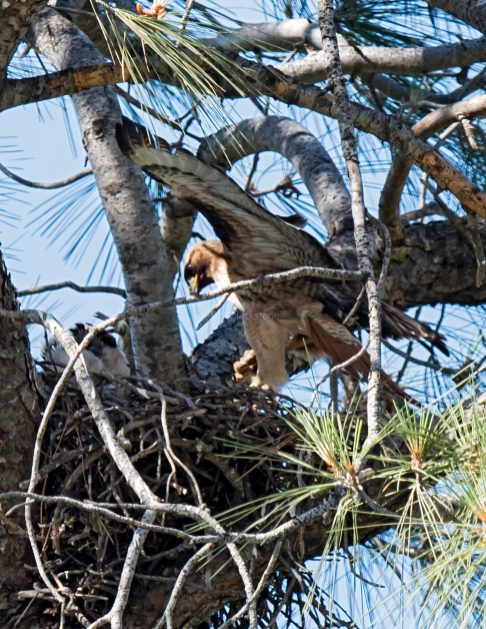 Red-Tailed Hawk adult and chick with snake