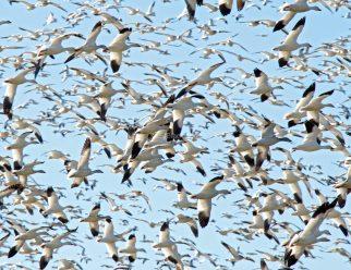 Snow Goose Flock in Flight2