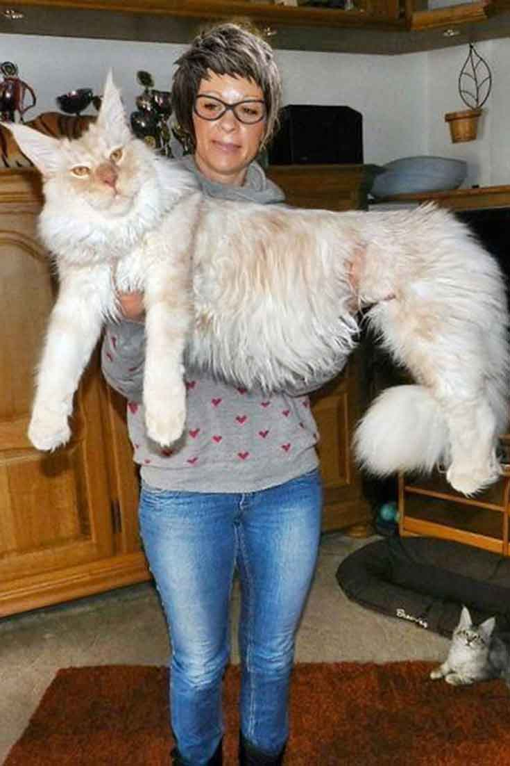 Maine Coon Images