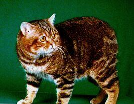 manx cat for sale