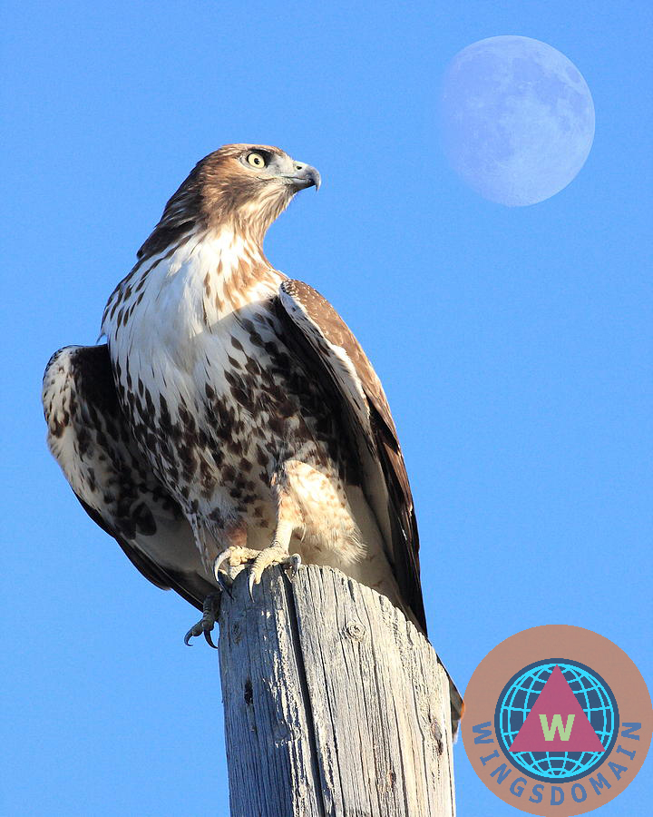 red tail hawk, hawk, animal, animals, hawk, flying hawk, red-tailed hawk, red tailed hawk, wildlife, bird in flight, bird, avian, rth, flying hawks, raptor, hawk bird, hawk birds, hawks, bif, moon, moons, perigee moon, big moon, full moon, super full moon, apogee moon, spring, summer, wing tong, wingsdomain, portrait, portraits