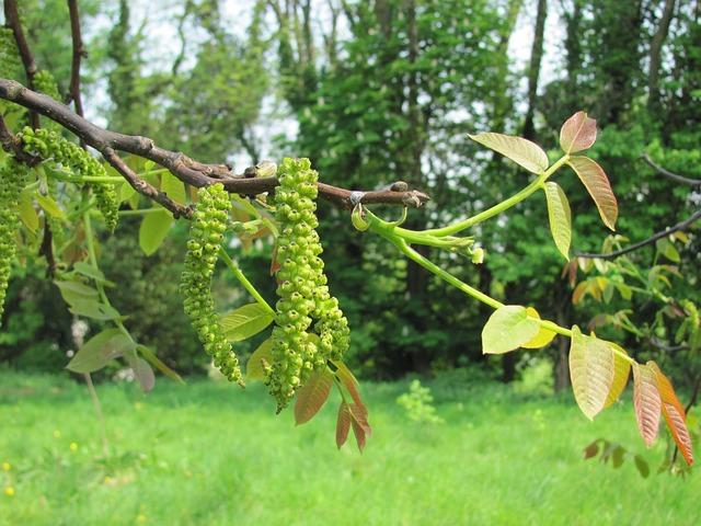 walnut-tree-flower-98949_640