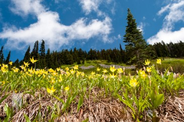 Glacier Lilies in Paradise Valley, Mount Rainier National Park. Summer blooms on the mountain are my favorite. (2013)