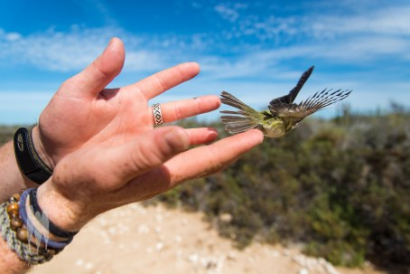The Navopatia Field Station, in Southern Sonora, Mexico does a lot of work with birds, banding them for MOSI (you can read about this elsewhere on Wingtrip). This Bell's Vireo is being released after being banded. I love photographing bird banding. (2014)
