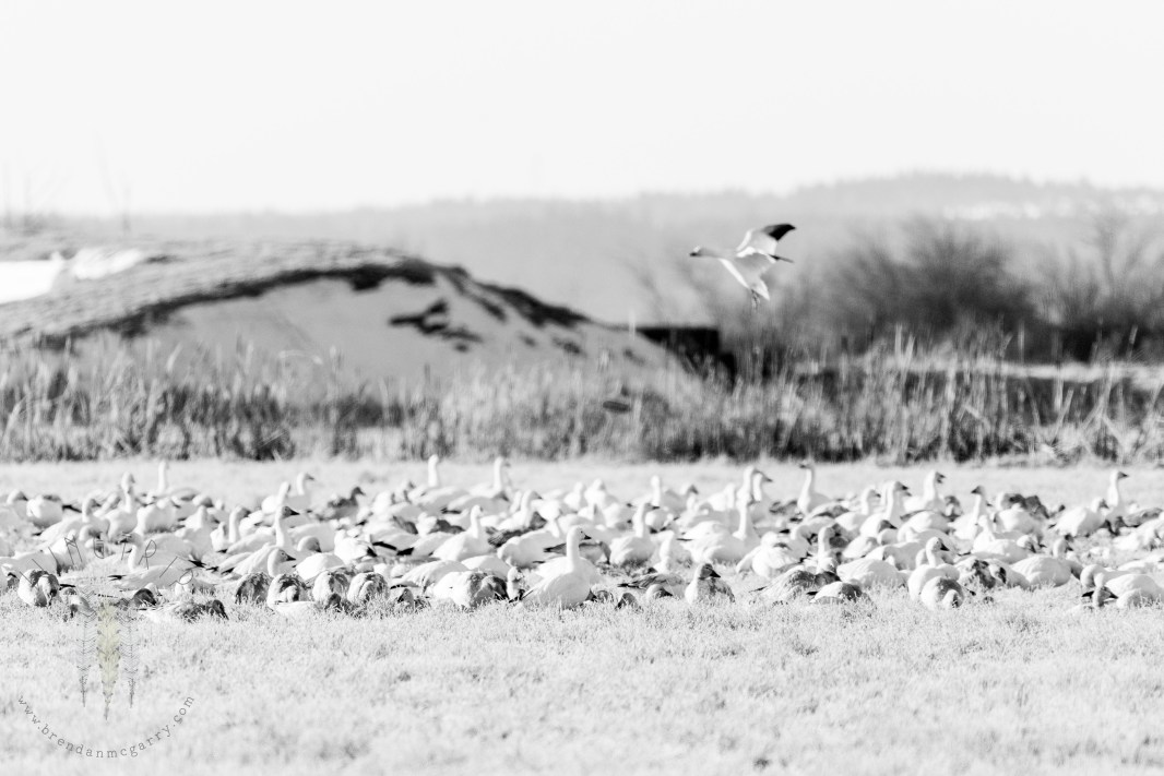 Snow Geese congregating in a field in the Skagit Valley.