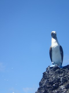 A blue footed booby stares down at me, feet the same color as the sky.