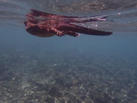 A marine iguana swimming through the water.