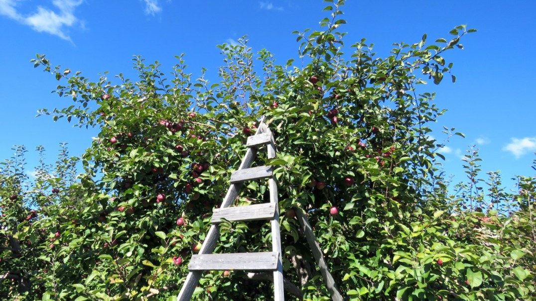 Ladder at orchard, Saint Hilaire, Quebec
