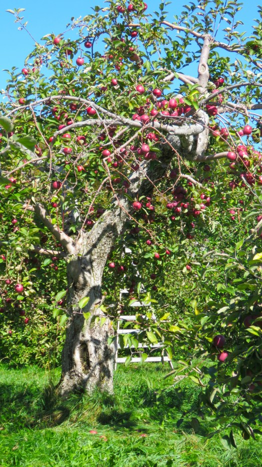 Apple tree, orchard, Saint Hilaire, Quebec
