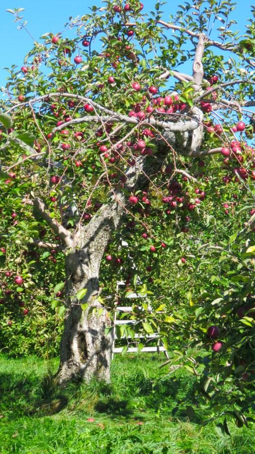 Apple tree, orchard, Saint Hilaire, Quebec