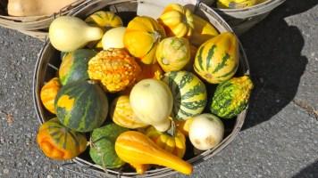 Baby pumpkins, Saint Hilaire, Quebec