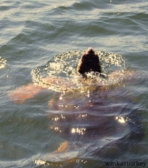 Tortuga caretta avistada cerca de la playa