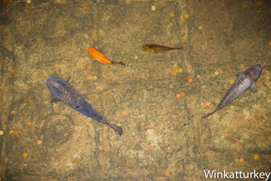 Hay peces ornamentales nadando en el agua de la Cisterna