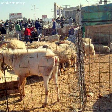 Venta de ganado en Urla