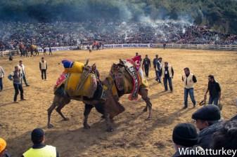 Lucha de camellos