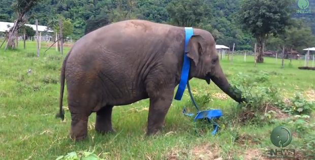 Elephant Playing With Ribbon Has the Best Day of His Life!