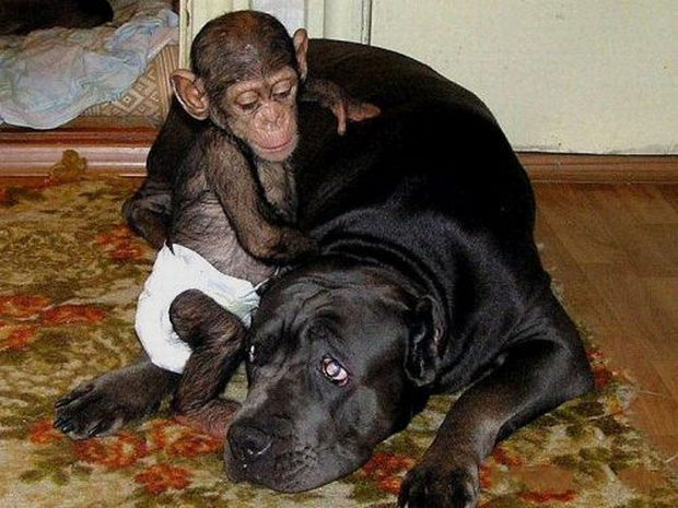 Orphaned Baby Chimpanzee Gets Adopted by Dog - The chimp loves his adopted mother.