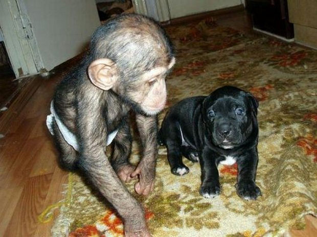 Orphaned Baby Chimpanzee Gets Adopted by Dog -
