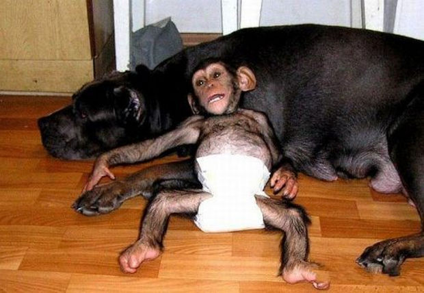 Orphaned Baby Chimpanzee Gets Adopted by Dog - Taking a much needed rest after a full day of taking care of the pups.