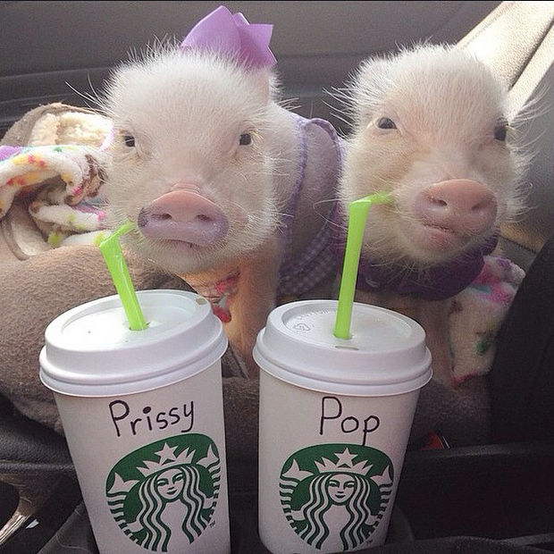 """Cute Mini Pigs Priscilla and Poppleton - """"This is a perfect day. Our favorite Starbucks drink and the barista spelled our names right!"""""""