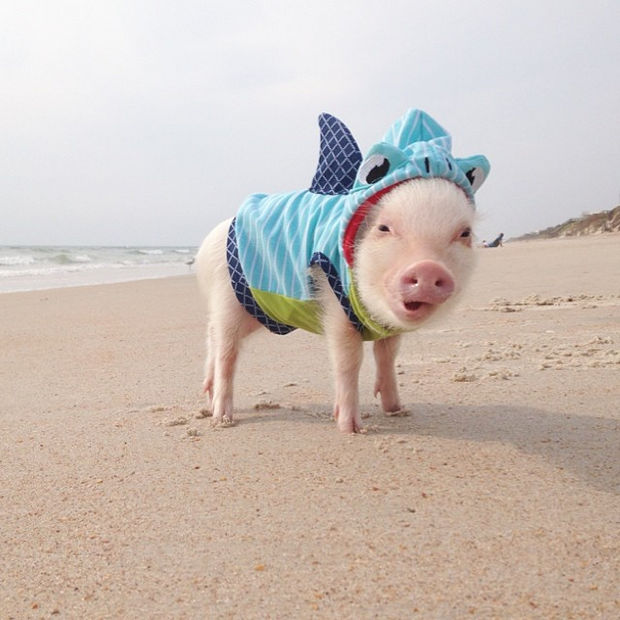 """Cute Mini Pigs Priscilla and Poppleton - """"Yes, I have fur but that water was still freezing! Brrr."""""""