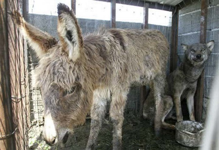 Unlikely Friends - The wolf and donkey would eat and nap together.