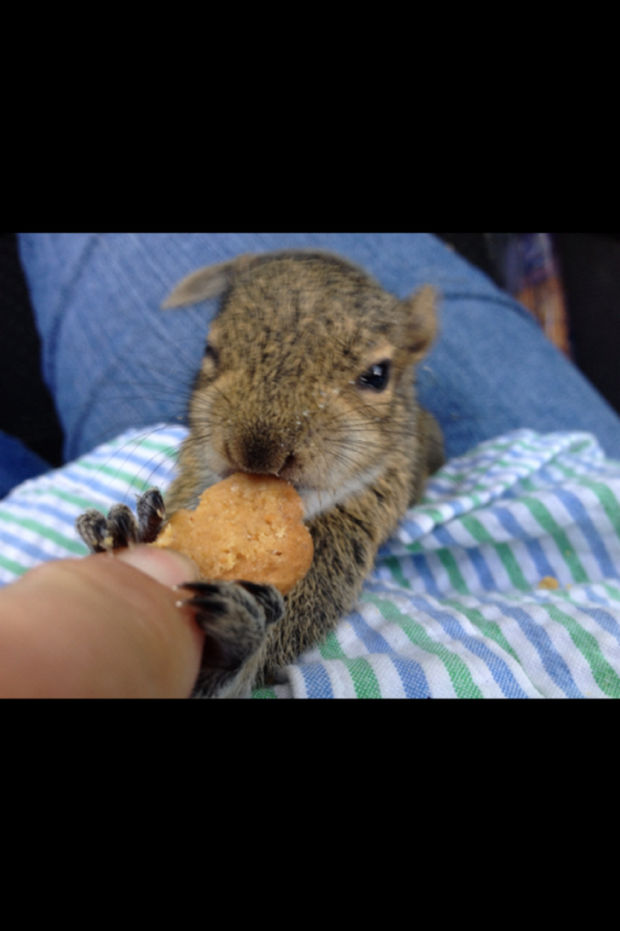 Baby Squirrel Found in Bag of Mulch - This little guy is hungry!