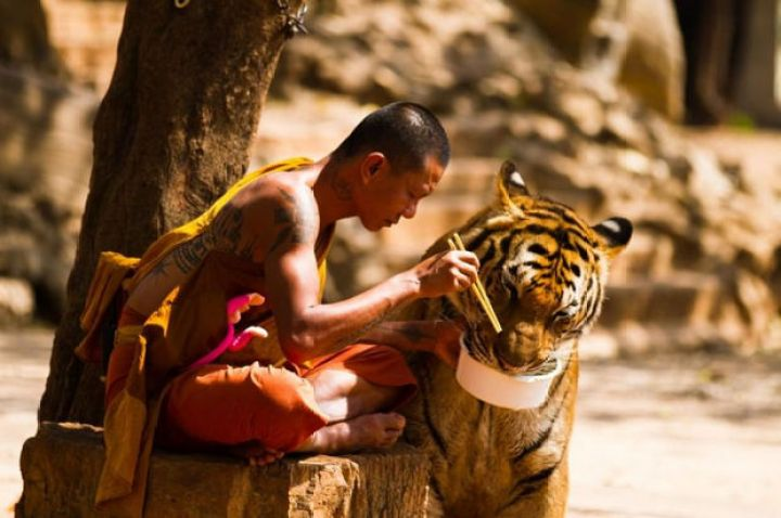 29 Powerful Pictures - A Buddhist monk in Thailand graciously shares his meal with a tiger at the Kanchanaburi 'Tiger Temple'.