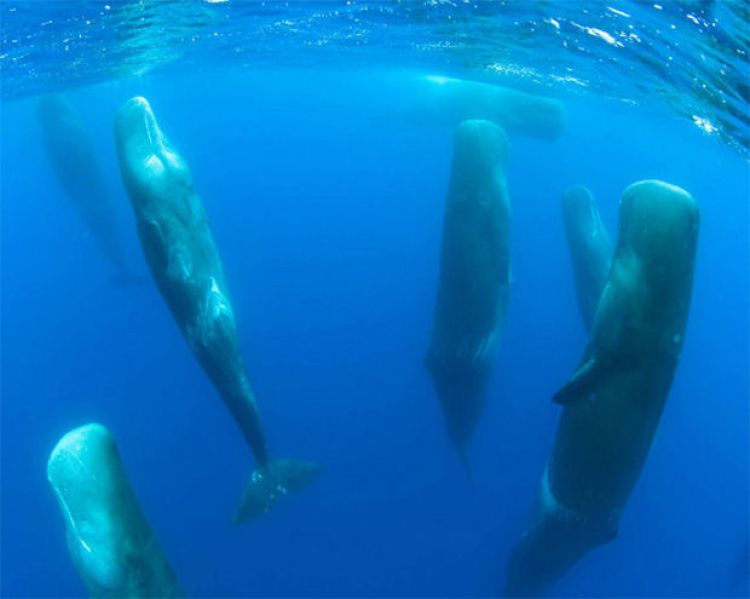 It may look like these sperm whales drowned but they are very much alive. This is a photo of sperm whales sleeping!