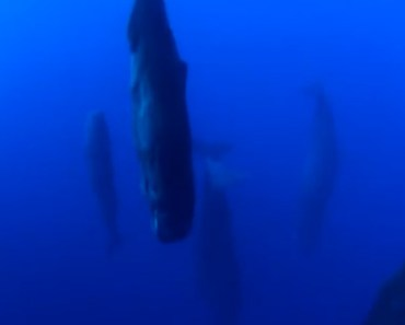 It's Amazing How Sperm Whales Sleep but It's Kind of Creepy.