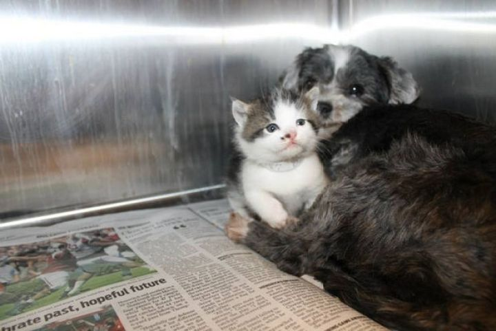 Shih Tzu Cares for Kitten - She barked until animal control officers arrived to save them.