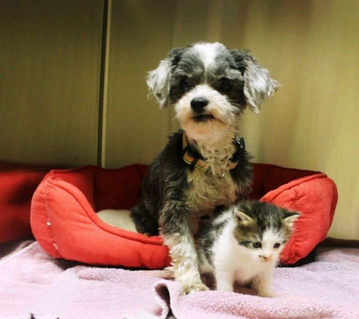 Shih Tzu Cares for Kitten - They are always together.