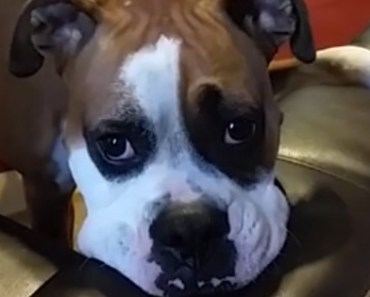 Will Sammy the Boxer Dog Make It onto the Couch?