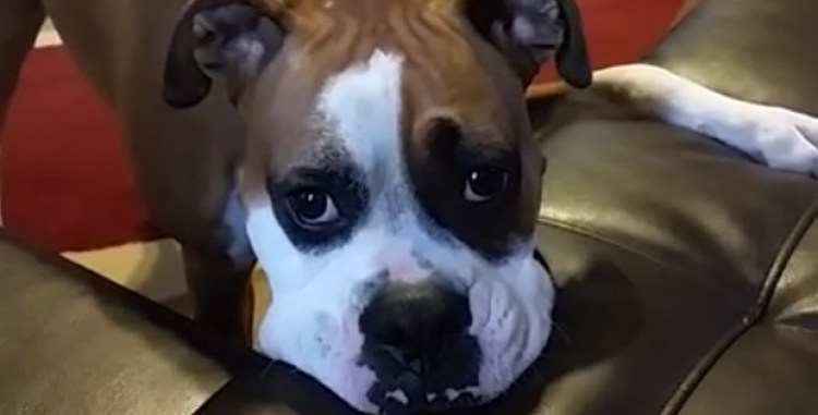 Will Sammy the Boxer Dog Make It Onto His Owner's Couch?