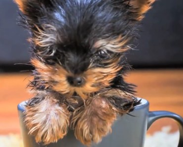 This Tiny Terrier Is so Small That a Coke Can Towers over It.