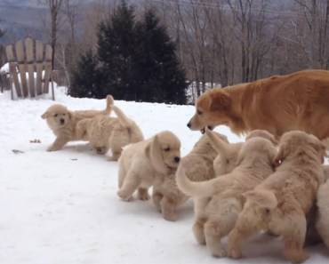 Golden Retriever Plays and Gets Swarmed by Her Little Pups.