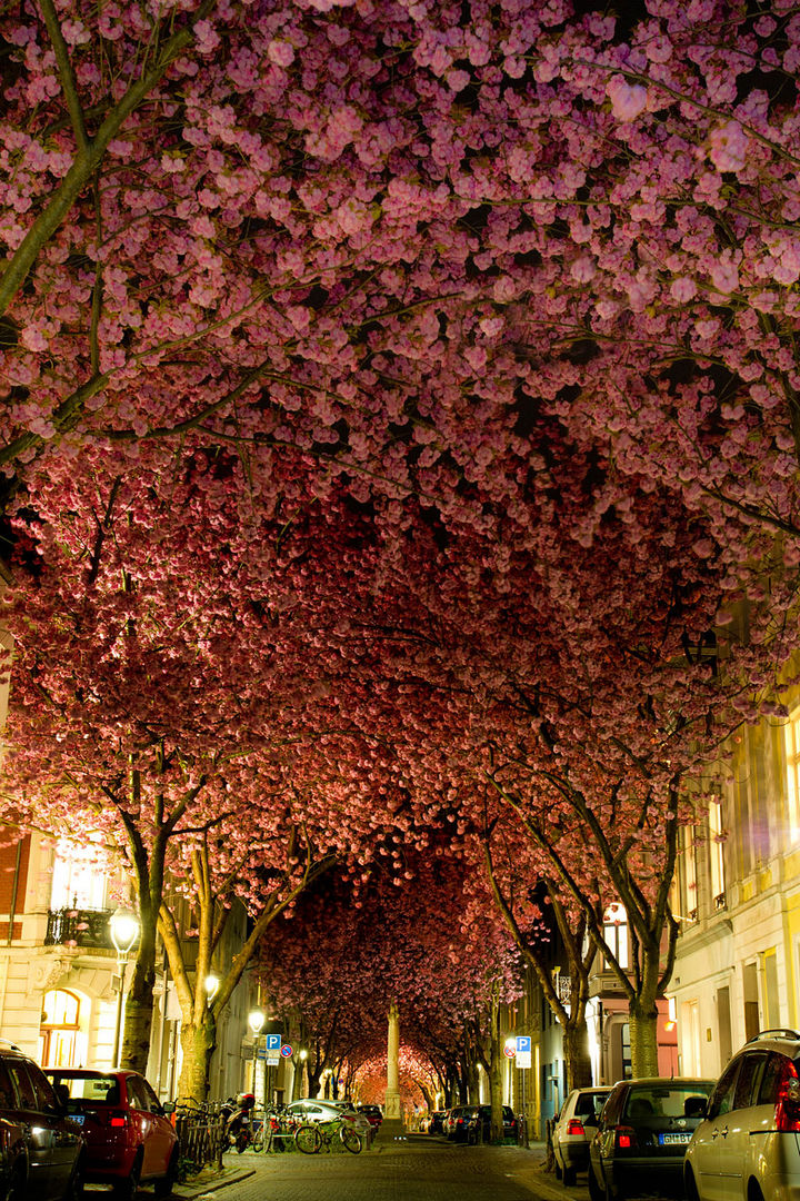17 Picturesof the Prettiest Trees on Earth - A Carpet of Blooming Cherry Trees in Bonn, Germany.