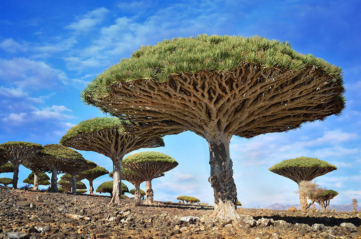 17 Pictures of the Prettiest Trees on Earth - Dragonblood Trees, Yemen.