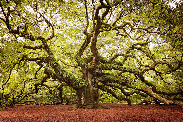 17 Pictures of the Prettiest Trees on Earth - Angel Oak In John's Island In South Carolina.