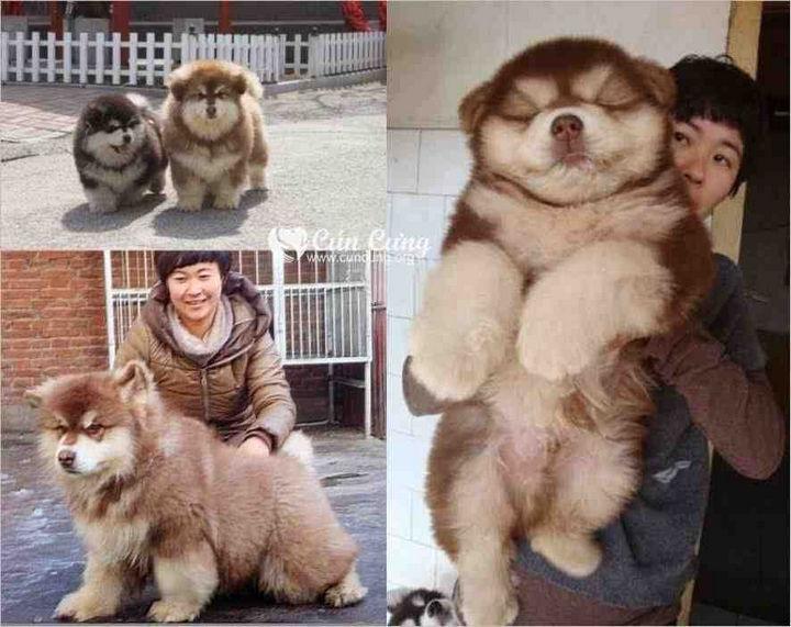 21 Mixed Breed Dogs - Chow Chow + Siberian Husky = Chusky