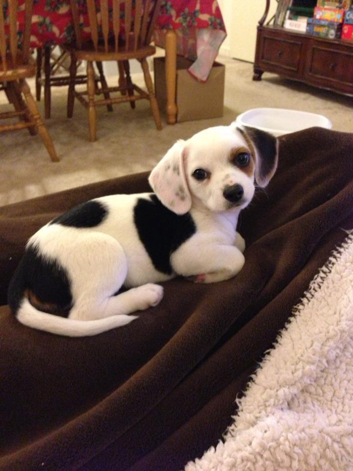 21 Mixed Breed Dogs: Chihuahua + Beagle = Cheagle
