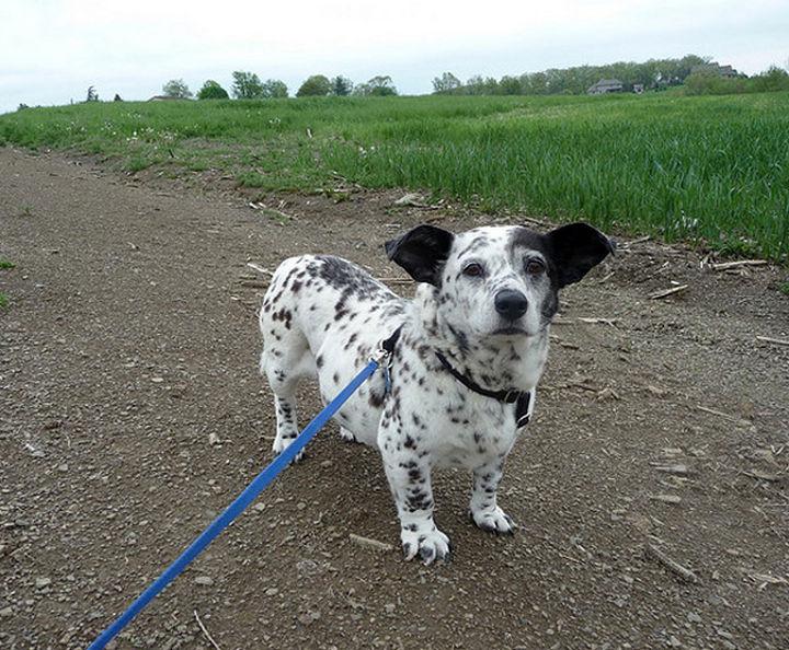 21 Mixed Breed Dogs: Corgi + Dalmation = Corgi Dalmation