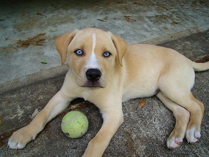 21 Mixed Breed Dogs: Labrador + Husky = Labsky