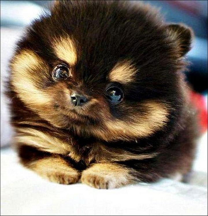 29 Tiny Baby Animals - Adorable teacup Pomeranian.