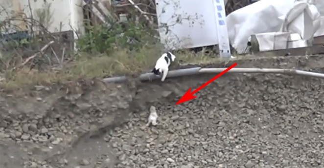 Mother Cat Saves Her Kitten after It Rolls Down a Rocky Trench.