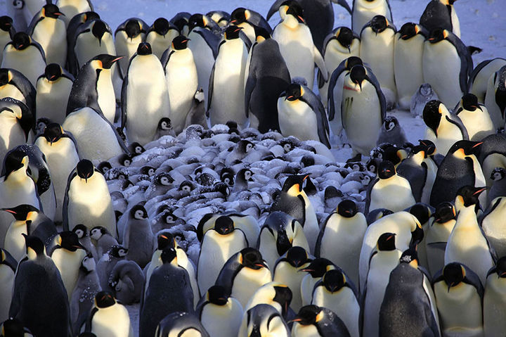 21 Animals and Their Young - Adult penguins huddling together to shelter their young from the cold wind.