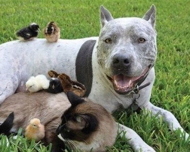 23 Reasons Why You Won't Like Having a Pit Bull as a Pet.